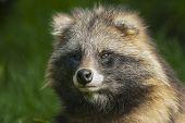 Portrait Of A Raccoon Dog.