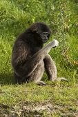 Lar Gibbon Is Looking At What He Has In His Hand.