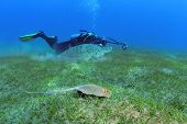 picture of stingray  - The photographer in the background is taking picture of a turtle and a stingray swimming side by side shot taken close to bottom under the water Marsa Alam Egypt Red Sea - JPG