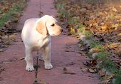Yellow Happy Labrador Puppy Playing In Autumn