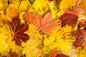colorful autumn maple leaves as background