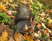 autumn squirrel with a nut in green grass