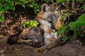 Grey Fox (urocyon Cinereoargenteus) Vixen Sniffs Flower With Kit