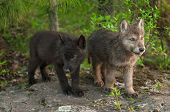 Two Wolf (canis Lupus) Pups Stand On Rock