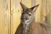 image of wallabies  - furry Wallaby face looking towards the camera