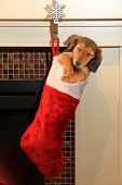 Dachshund puppy in a Christmas stocking hanging in front of a fireplace.