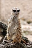 Meerkat is looking