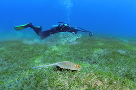 stock photo of stingray  - The photographer in the background is taking picture of a turtle and a stingray swimming side by side shot taken close to bottom under the water Marsa Alam Egypt Red Sea - JPG