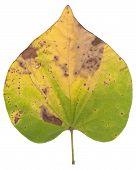 Red Bud Leaf over white
