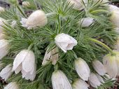 foto of pubescent  - Blooming Pulsatilla after rain on a cloudy day - JPG