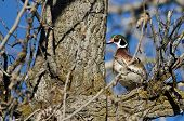 pic of crested duck  - Male Wood Duck Perched in a Tree - JPG