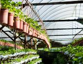 stock photo of strawberry plant  - Photo of Potted plants on a strawberry farm - JPG