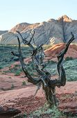 picture of petrified  - Gnarled Tree growing atop petrified sand dunes Snow Canyon State Park Utah - JPG