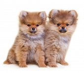 picture of pomeranian  - Pomeranian puppy - JPG