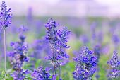 stock photo of salvia  - Blue Salvia or salvia farinacea flowers blooming in the garden - JPG