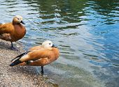image of duck pond  - Pair of two brown ducks next to the water pond - JPG