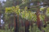 stock photo of pine-needle  - Water drops on pine sprig needles - JPG