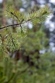 pic of pine-needle  - Water drops on pine sprig needles - JPG