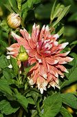 stock photo of rare flowers  - Beautiful rare dahlias in a botanical garden - JPG