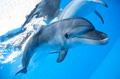 pic of oceanography  - Dolphin swims under the water and looking at the camera - JPG