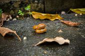 stock photo of millipede  - Millipede in the backyard after raining on the ground - JPG