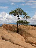 El Malpais pine