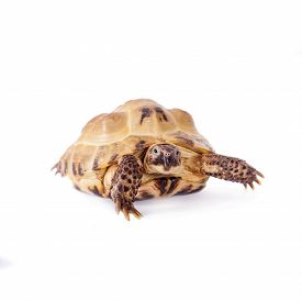 picture of russian tortoise  - Russian or Central Asian tortoise Agrionemys horsfieldii - JPG