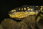 foto of jungle snake  - Oriental whip snake - JPG
