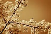 Fruit Tree In Bloom.
