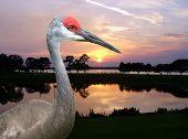 Sandhill Crane In Florida Sunset