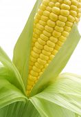 Sweetcorn on the cob - angled view