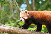 Rare endangered red panda in naturalistic setting