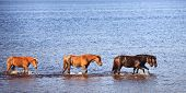 Horses In Water Of Lake