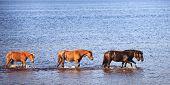 Horses In Water Of Lake