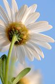 stock photo of daisy flower  - View from below of a backlighted daysy on natural sky background - JPG