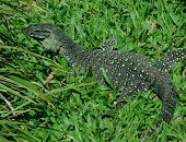 Lace Monitor (Lace Goanna) (Varanus varius) Lizard,  full body in grass