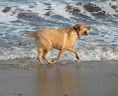 Happy Golden Lab Dog
