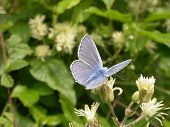 Common Blue Butterfly 02