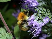 Common Carder Bee 01