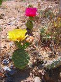 Desert Cactus Blossoms
