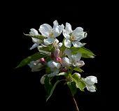 Постер, плакат: Яблони цвести
