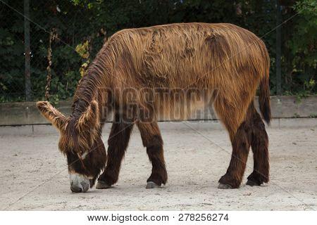Poitou donkey Equus asinus asinus
