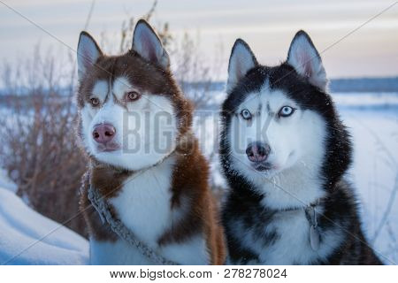 poster of Two Siberian Husky Dogs Looks. Husky Dogs Black, Brown And White Coat Color. Closeup. Winter Sunset.