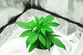 Vegetation Of Cannabis Growing. Marijuana In Grow Box Tent. Growing Marijuana At Home Indoor. Close  poster
