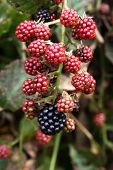 Close Up Of A Cluster Of Juicy Red And Dark Blue Blackberries Ripening On The Vine In Summertime poster