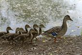 A Wild Mother Duck Waddles Alongside A Lake With A Clutch Of Fuzzy Ducklings Following Behind poster