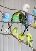 Simple Gray Background Of Metal Enclosure With Tree Branches Covered In The Bright Color Of Parakeet poster