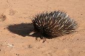 Porcupine, Australian