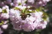 A Pink Rhododendron Flower Bush Growing In A Garden. poster