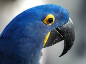 Extream close up of a beautiful Indigo blue Parrot or Macaw